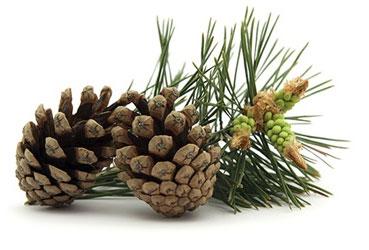 สารสกัดสน (เปลือก) (Pine bark extract)