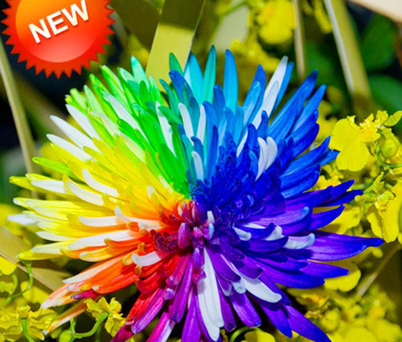 ดอกเบญจมาศสีรุ้ง Rainbow Chrysanthemum Flower Seeds / 20 เมล็ด