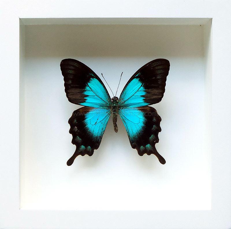 ++ ผีเสื้อสต๊าฟ กล่องผีเสื้อเซ็ทลอย ผีเสื้อ Sea Green Swallowtail (Papilio lorquinianus) // กล่องสีขาว ++