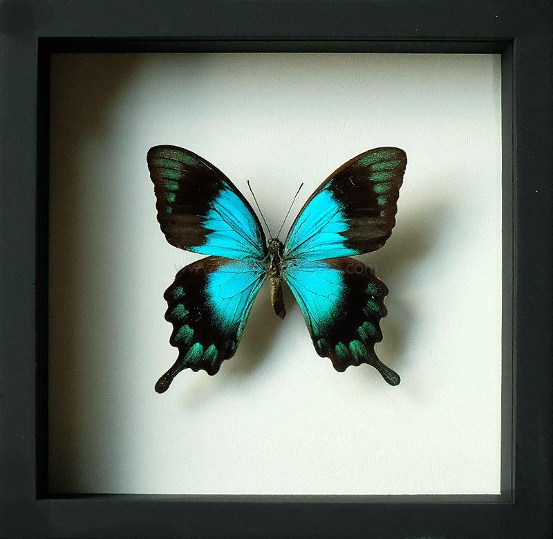 ++ ผีเสื้อสต๊าฟ กล่องผีเสื้อเซ็ทลอย ผีเสื้อ Sea Green Swallowtail (Papilio lorquinianus) // กล่องสีดำ ++