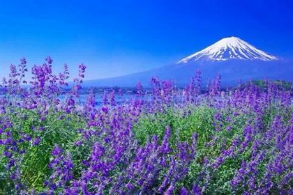 หัวน้ำหอม Lavender : 002388