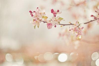 Sakura Fragrance ดอกซากุระ (1 kg)